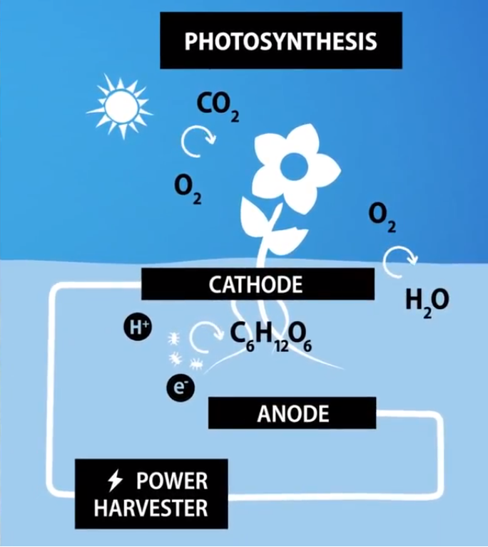 растения вырабатывают электричество