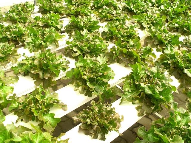 калий в салате латук