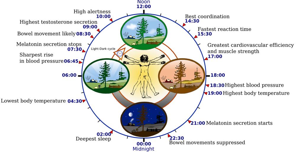 біологічний годинник людини