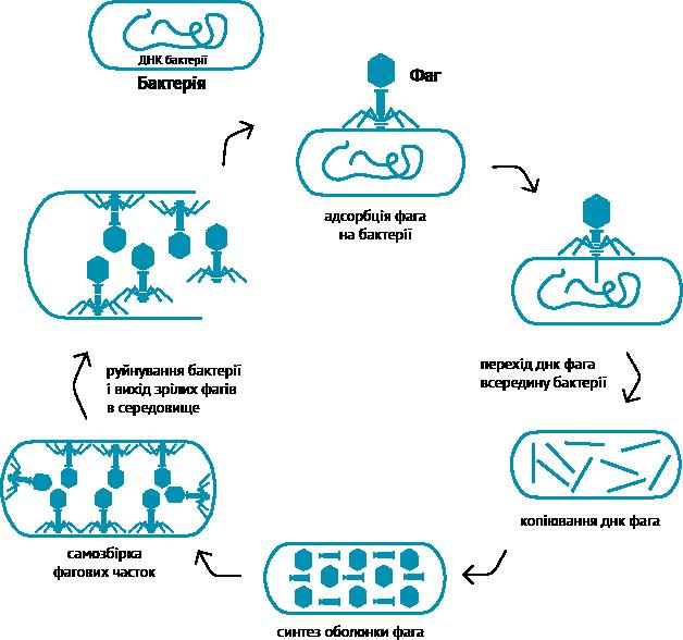 як працюють бактеріофаги