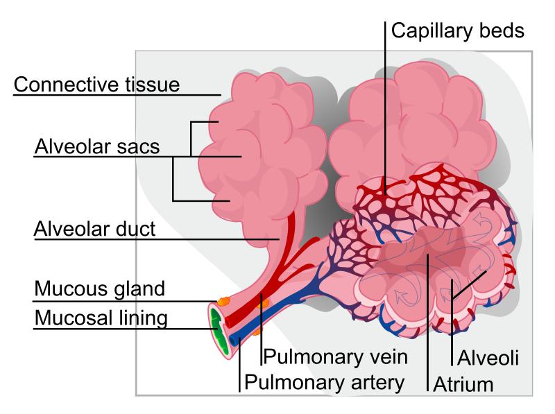 Альвеоли