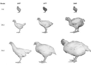 Птица на прилавке: жертва гормонов или чудо селекции?