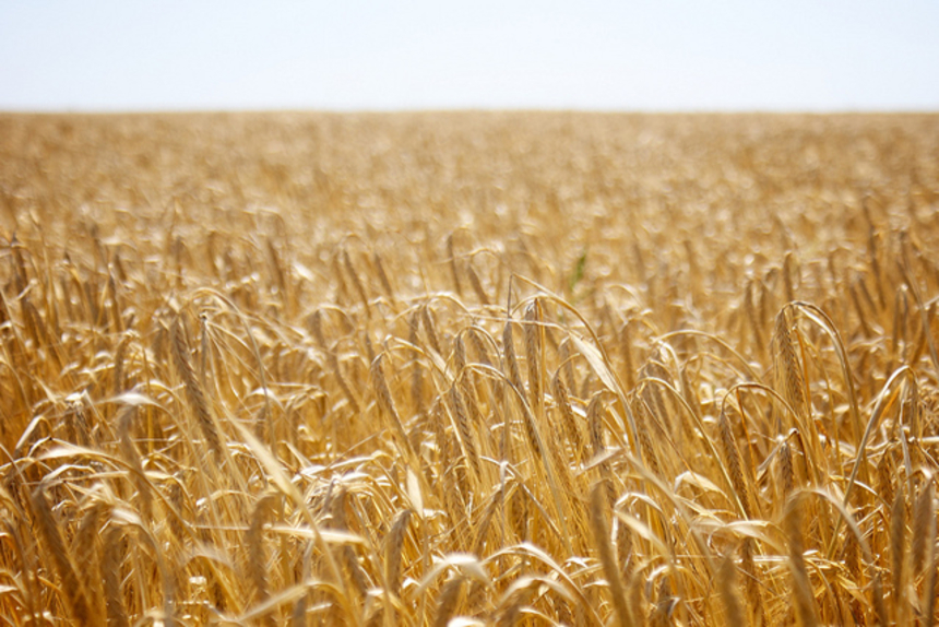 thesis on wheat crop Thesis department agronomy and soils metadata show full item record and the rapid decomposition limited the n contribution to the subsequent wheat crop.